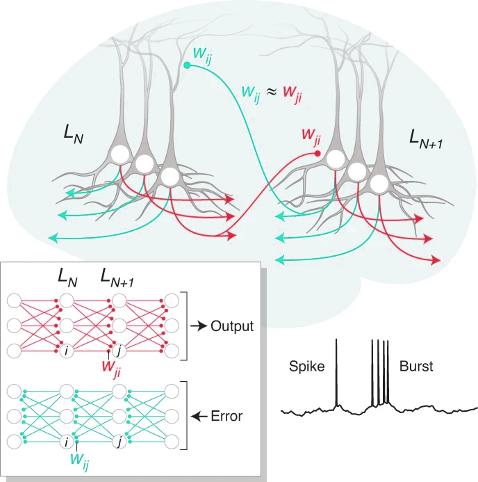 Paper: Burst-dependent synaptic plasticity can coordinate learning in hierarchical circuits